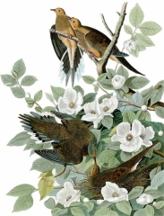 Carolina pigeon