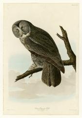 Great Cinerous Owl