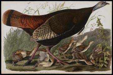 Great American Hen & Young Vulgo Female Wild Turkey