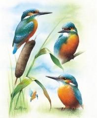 Kingfisher Studies