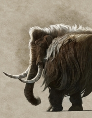 Woolly Mammoth, Mammuthus primigenius