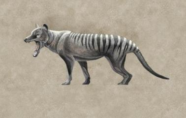 Marsupial Wolf, Thylacinus cinocephalus