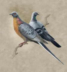 Passenger pidgeon, Ectpistes migratorius