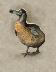 Dodo, Raphus cuculatus