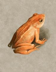 Golden Toad, Incilius periglenes
