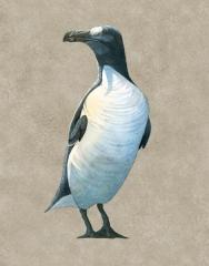 Great Auk, Pinguinus impennis
