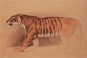Watercolor study of a walking tiger