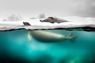 Народный выбор, Природа: 'Split Shot Taken Of Crabeater Seals', автор: Rita Kluge